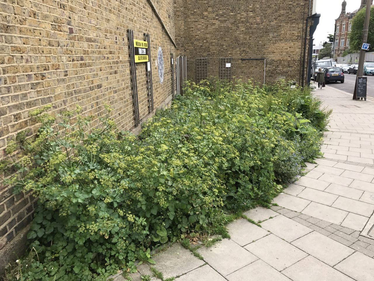 MUMS' ANGER in Leigh at highly-poisonous weeds growing in street