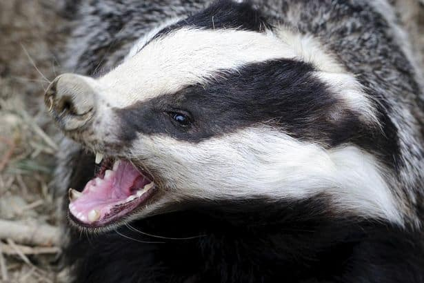 Badger adoption centre opens in South Essex